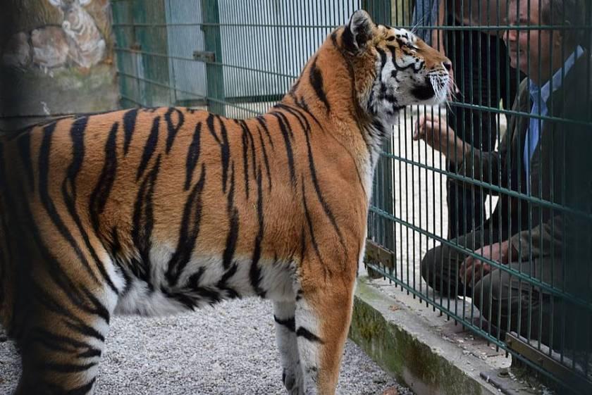 Tigerdame_Sophia